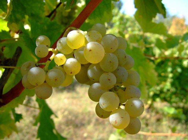 sauvignon_blanc_foto-vina